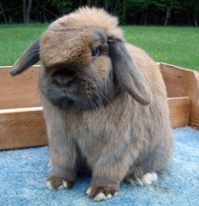 Bunnies For Sale Near Me >> 6 Holland Lop Rabbits Located In Anchorage Ak Rabbits For