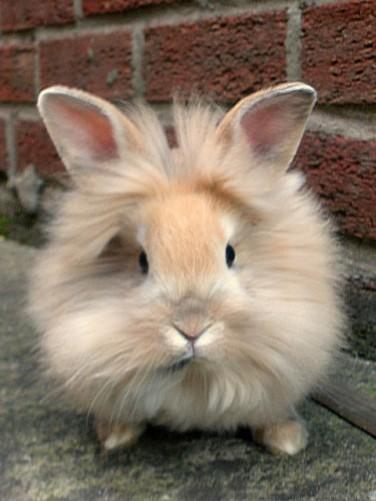 Bunnies For Sale Near Me >> 32 Lionhead Bunny Rabbits For Sale Wasilla Alaska Rabbits