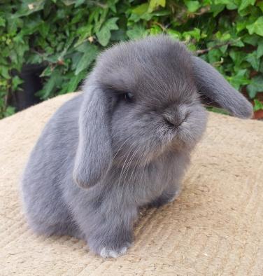 Bunnies For Sale Near Me >> Mini Lop Rabbits Rabbits For Sale In Alaska